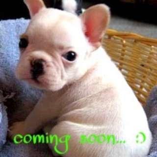 Adorable French Bulldog Puppies coming soon :)