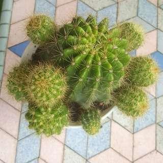 UD pic.大仙人球/Big Celestial Being Cactus Balls