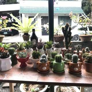Potted cactus or succulents (ceramic, clay, terracotta, etc)