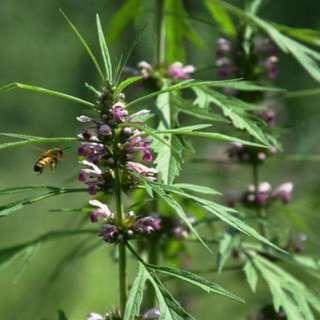 2017年益母草蜂蜜 純天然蜂農自產 調內分泌 女性調經 滋陰