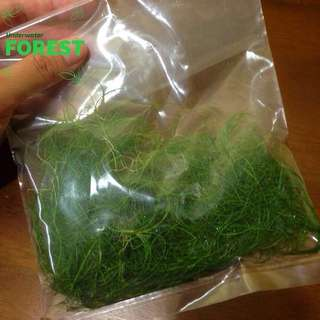 Aquatic Plant - Dwarf Hairgrass (only advance orders)
