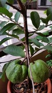 Plant - Guava Tree