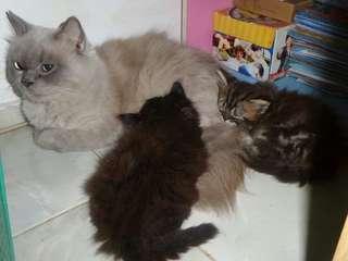 Kucing persia ragdoll betina + anak kitten
