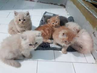 Pure persian kittens