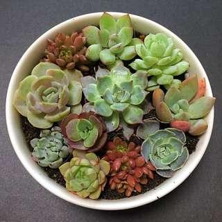 Korean Succulent Garden