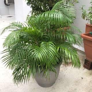 Bushy Palm