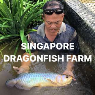 Fish fish ! Heng Ong Huat ah. Invite a dragon into your house for 2018 !!!
