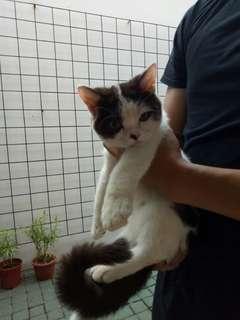 Kucing (Mix Anggora Persia Medium