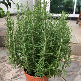Rosemary potted plants