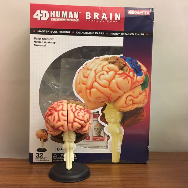 Human Brain Anatomy Model Build Your Own 4dmaster