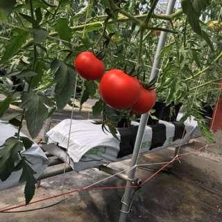 綠點子森活農場-牛番茄