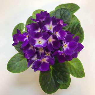 Violet and White African Violets