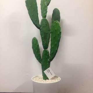Large Cactus in Pot