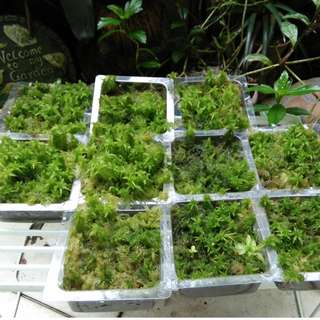 live spagnum moss for sale/trade