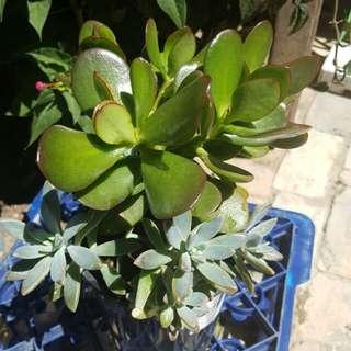 Plants Indoor or outdoor succulents