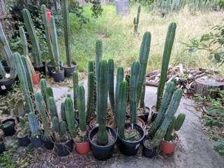 Trichocereus cacti 2/3