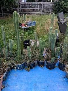 Trichocereus cacti 3/3