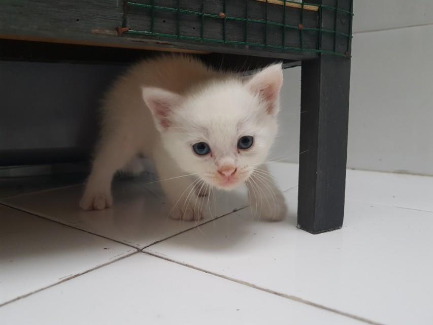 Anakan Kucing Persia Putih