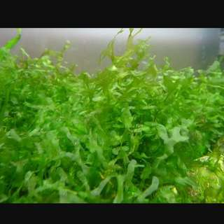 Freshwater seaweed for FISH SHRIMP FRY BABY