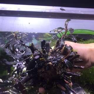 [CLEARANCE]Bucephalandra On Wood