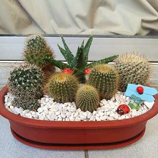 Decorated potted cactus plants