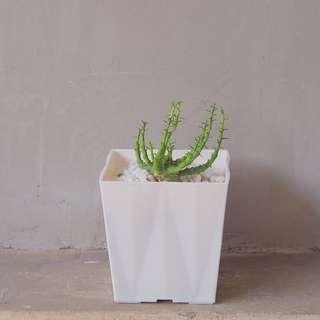 Succulent in a White Square Pot