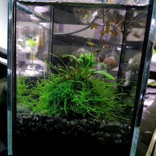 Wabi kusa fully submerged, aquatic plants, planted tank