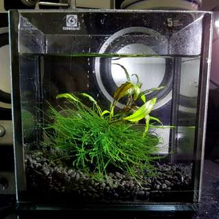 Wabi kusa, fully submerged wabi kusa, aquatic plants, planted tank