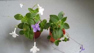 G. Streptocarpella saxorum white/purple flower