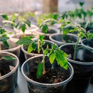 Cherry Tomato seedings