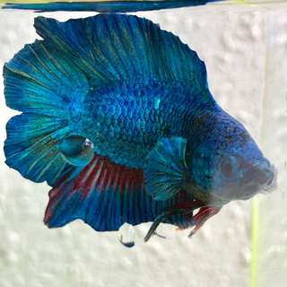 Blue Double tail betta