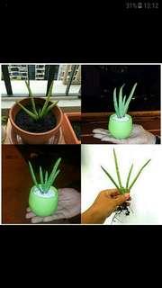 GARDENING - Pesticides-Free Baby Aloe Vera Plant For Sale