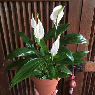 White Peace Lily (In Bloom!)