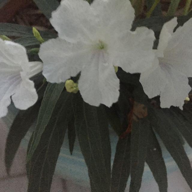 White wild petunia