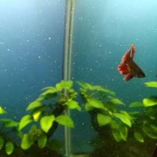 junior betta fish