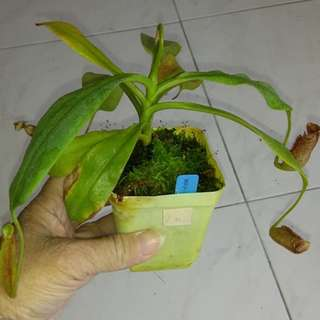 N. Maxima pitcher plants (monkey cup) in 7x7 cm pot