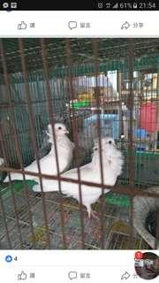 🚚 各類觀賞鴿