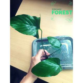 Aquatic Plant - Anubias Hastifolia (Large)