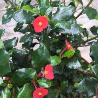 Euphobia flowers