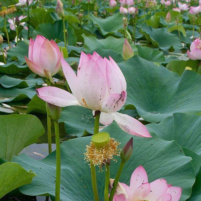 Lotus Plant Gardening On Carousell