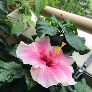Light pink Big hibiscus plant
