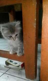 Kitten anggora persia