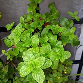 GARDENING - Peppermint Seeds For Sale