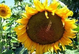 Tanaman bunga matahari/tanaman hias bunga matahari