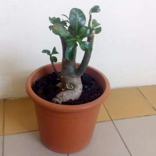 Desert Rose in pot 22cm(H) x 25cm(Diameter). Self collect from Blk 412A Fernvale Link, Sengkang West