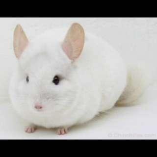 Looking to adopt white or mosiac white female chinchilla