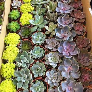 Succulents for sale (New in)