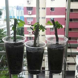 Figs cutting plants