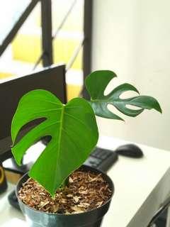 Tanaman hias daun (indoor)
