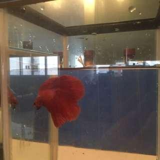 Red Betta with NISSO Glass Tank